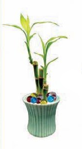 Lucky Bamboo Favors